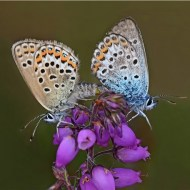 -Paired Silver Studded Blues-Van Greaves FRPS