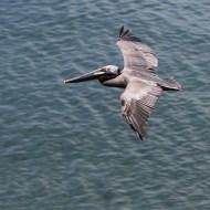 -Pelecanus OccidentalisBrown Pelican-Arnaud Lenoir