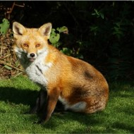 -Red Fox (W)-Pauline Fiddian