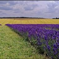 -The Lavendar Field-Paul Smith