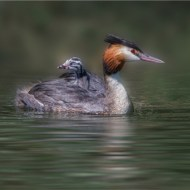Third-Great Crested Grebe with Chick-Sue Vernon CPAGB BPE1