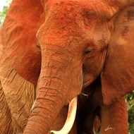 -Tsavo Elephant-Charles Turner