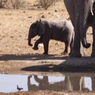 -Week Old Elephant-Keith Rowe