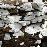 -White Lichen-John Moore CPAGB BPE1