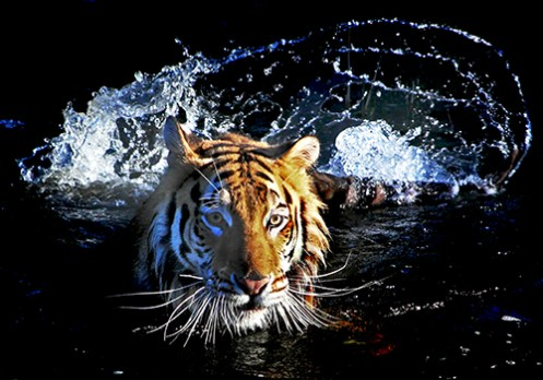 TIGER RANTHAMBHORE INDIA