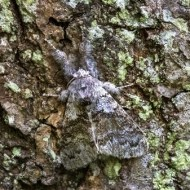 Commended-Pale Tussock Moth-Barbara Lawton