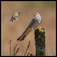 -Cuckoo with Meadow Pipit 5848-Philippa Wheatcroft