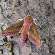 -Elephant Hawk Moth-Robert Tunstall
