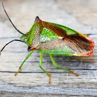-Hawthorn Shield Bug-Mike Price