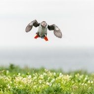 -Puffin with Plenty-Graham Hales