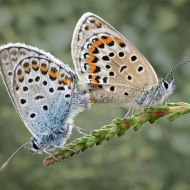 Third-A Pair of Silver Studded Blues .-David Myles