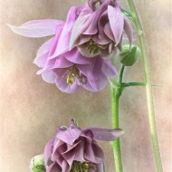 Highly Commended-Aquilegia-David Myles