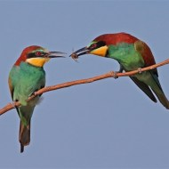 Commended Bee-Eater Food Pass Paul Keene