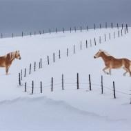 Third Hafflingers - Fenced in Paul Keene