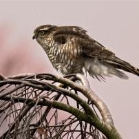 Commended Sunset Sparrowhawk Kerry Allen