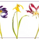 Third Tulip Tryptich John Moore