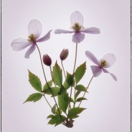 Highly Commended Montana Clematis Ray Allen