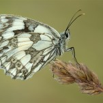 Commended Marbled White on Grass Myles David