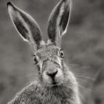 First Brown Hare David Myles