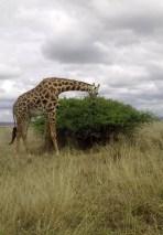 la giraffa!