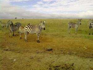 la zebra mi guarda