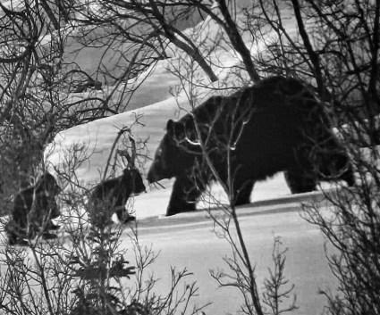 bear-w-cubs