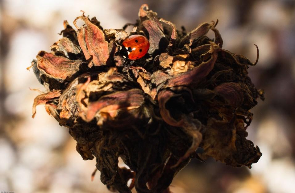 lounging ladybug