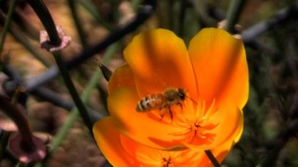 bees poppy b