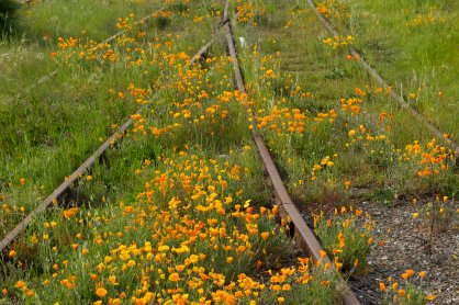 poppies along the tracks 4