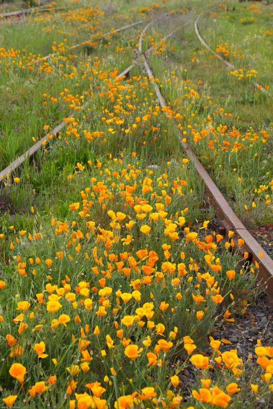 poppies along the tracks 2