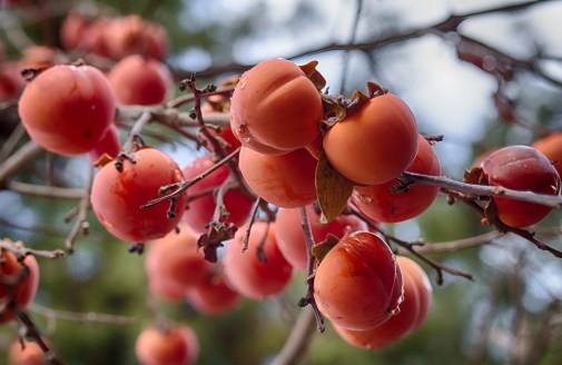 more present persimmons for you
