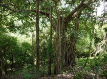 The Indian national tree: Banyan tree/ Banyan-Baum, ein Symbol Indiens
