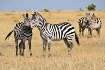 Cute Zebras
