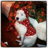 Lola/Lola Bear the Wheaten Terrier Mix who I call my little sister!