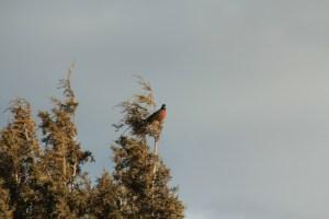 Robin in January