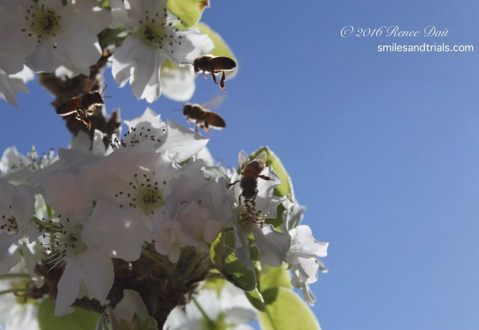 3477 pear blossom