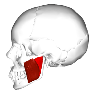 Lateral aspect of Masseter Muscle