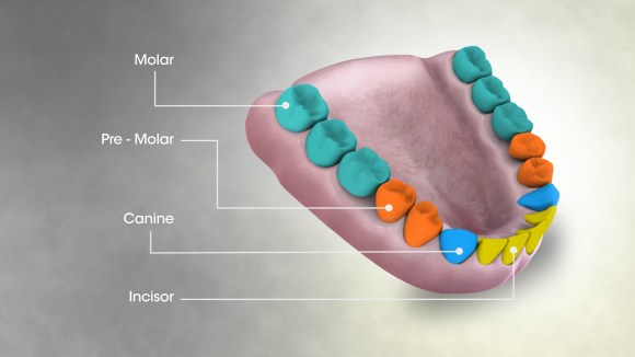 Teeth-names