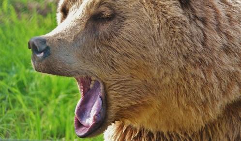european-brown-bear-1572351_1920