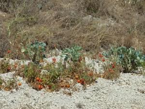 La route est bordée de mini-champs de tomates... les plants font grise mine, mais les tomates ont l'air bonnes !
