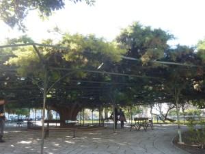 Le fameux cyprès du jardin du Principe Real