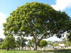 Un arbre superbe trône au centre de la place