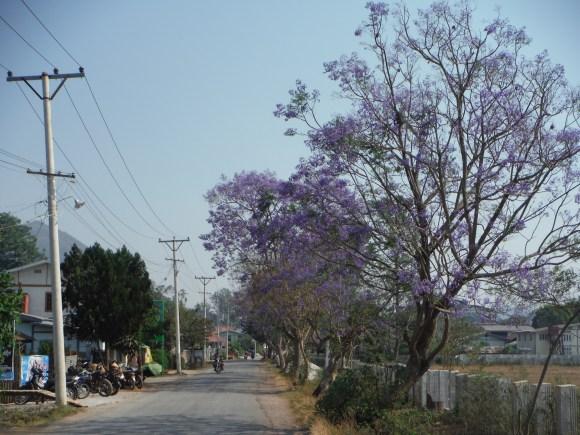 Il y a de nombreux arbres violets à Kalaw, comme ceux que nous avions vus à Séville