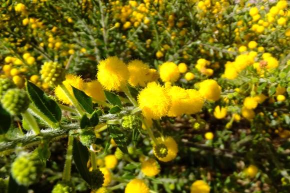 Acacia idiomorpha ^^ (famille des mimosas ;-))