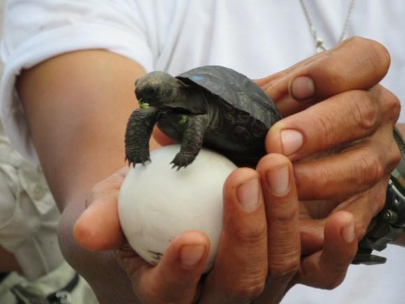 Tortue géante des Galapagos âgée de 5 mois