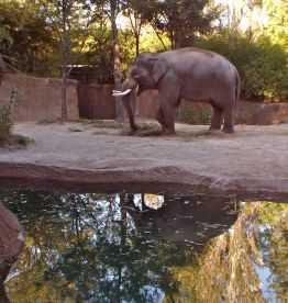 Father of four of the Zoo's female elephants.