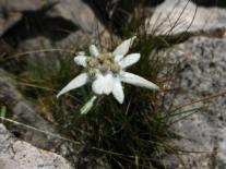 Stella Alpina, Alpine Star, or Edelweiss