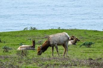 Tule Elk Preserve - Tomales Point   Smiling in Sonoma