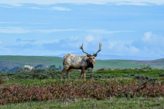 Tule Elk Preserve - Tomales Point | Smiling in Sonoma