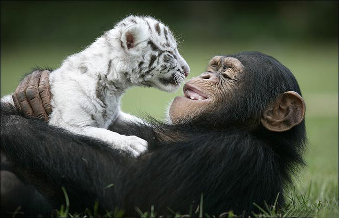 Cute Chimp With A White Tiger Baby Silver Chinchilla